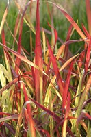 Imperata cil. 'Red Baron'